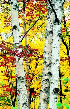 ✯ Fall In New England ... love Birch trees.  We used to strip the bark and make strips of paper out of it.