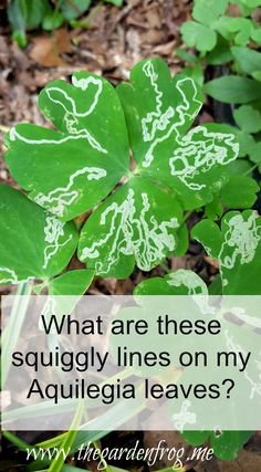 What are the squiggly lines on my Aquilegia leaves? Slugs In Garden, Garden Frogs, Garden Pests, Container Gardening, Gardening Tips, Organic Pesticides, Garden Whimsy, Weed Control, Lawns