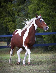 bay tobiano paint horse 1 by venomxbaby.deviantart.com on @deviantART