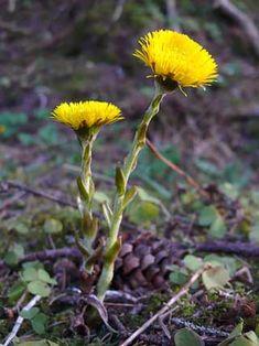 Kukista suurimman tunnekuohun saa aikaiseksi kevään ensimmäinen leskenlehti.