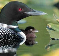Loon and baby. My favorite bird. They mate for life and call to each other from far across the lake. So beautiful at sunset.