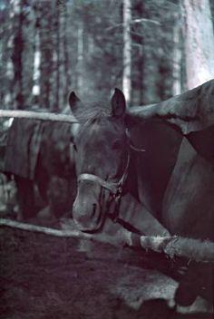 Hevonen katoksessaan Pienen Karmanlammen rannalla. Kuvattu 12.-13.10.1941. Hanhijärvi-Vermajoki SA-KUVA Finland, Ww2, Horses, History, Animals, Prepping, Inspiration, Green, Biblical Inspiration