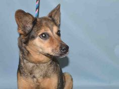 HANNAH - A1091004 - - Brooklyn Please Share:TO BE DESTROYED 09/30/16** THIRTEEN YEARS OLD AND SPAYED ** German Shepherd mixes are tried and true, the great respected mix that is known for making great, loyal family pets. Hannah has for thirteen years dedicated her life to an owner who on 9/23 surrendered her to the ACC of NYC due to a move out of state. Hannah has great owner surrender comments. Hannah is mellow, playful, and affectionate. She received a nice Experience Ra