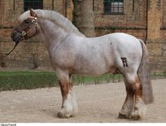 Rhenish-German Coldblood stallion Hurrican