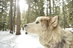 Find details on the Alaska State Dog, Alaskan Malamute (Canis lupus familiaris). Access Alaska other symbols. Gorila Albino, Le Plus Grand Chien, Canis, Dog Steps, Pet Breeds, Purebred Dogs, Alaskan Malamute, Malamute Husky, Rottweiler