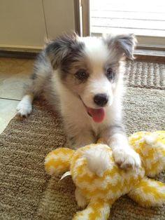 My Border collie puppy