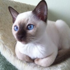 Best Images siamkatze siamese cats Suggestions Siamese felines would be better recognized for their modern, efficient physiques, foamy coats along with dist Tonkinese Kittens, Siamese Kittens, Cute Kittens, Cats And Kittens, Tabby Cats, Bengal Cats, Bengal Tiger, Pretty Cats, Beautiful Cats