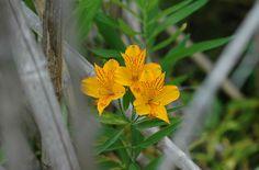 Amancay, flor patagonica - San Martín de los Andes
