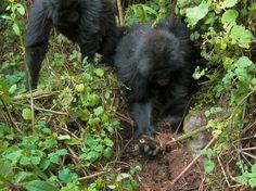 Pocos días después que una trampa matara un miembro de su familia, dos jóvenes gorilas, le demos...