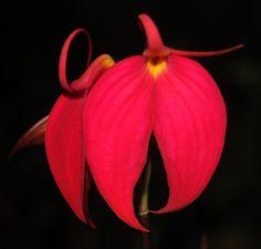 Orchid: Masdevallia cocinia - Flickr - Photo Sharing!