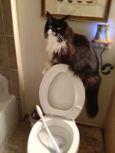 Orca, my tuxedo Maine Coon, helping with housekeeping tasks.