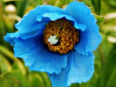 A Himalayan Blue poppy I photographed in girdwood Alaska, love the color so much
