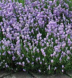 lavandula angustifolia 39 nana alba 39 wei er zwerg lavendel a larp pinterest stauden. Black Bedroom Furniture Sets. Home Design Ideas