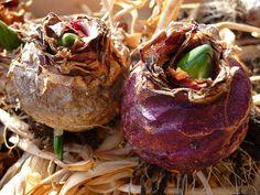 hyacinth bulbs - Google Search