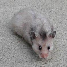 Grey Syrian Hamster
