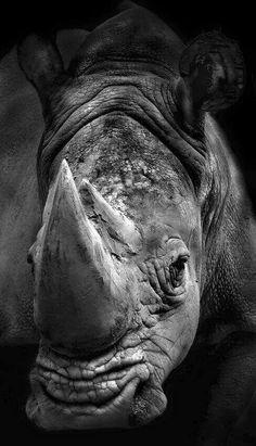 Resultado de imagem para rhino black and white