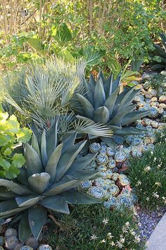 A street side planting by noted landscape designer Brandon Tyson, using Agave 'Sharkskin', Echeveria x imbricata and Chamaerops humilis cerifera, in the Berkeley hills. Dessert Landscaping, Low Water Landscaping, Succulent Landscaping, Front Yard Landscaping, Planting Succulents, Succulent Planters, Succulent Arrangements, Landscaping Tips, Hanging Planters