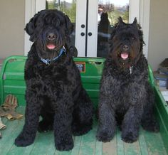 Black Russian Terrier Dog and Bouvier de Flanders Two Dogs, Large Dogs, Hounds Of Love, Black Russian Terrier, Giant Schnauzer, Samoyed, Black Labrador, Terrier Dogs, Working Dogs