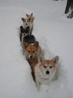 It's a Corgi Conga Line! 5 Corgi dogs making their way through the snow like a train. Welsh Corgi Pembroke, Cute Puppies, Cute Dogs, Dogs And Puppies, Silly Dogs, Animals And Pets, Funny Animals, Cute Animals, Wild Animals