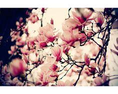 Magnolia tree - full of childhood memories