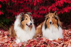 Our Lovely Rough Collies, Zack and Buddy, Collie sweeties :) by sylvia1sam, via Flickr