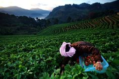 Taken in the morning at Strawberry Farm on Doi Ang Khang, Chiang Mai, near the Angkhang Royal Agricultural Station.