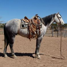 Gentle Gray Ranch Gelding for Sale - Sorts & Ropes - For more information click on the image or see ad # 32201 on www.RanchWorldAds.com Pretty Horses, Horse Love, Beautiful Horses, Gray Horse, Horse Photos, Horse Pictures, Quarter Horses For Sale, Western Horsemanship, Horse Classifieds