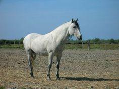 Caballo Camargués http://www.mascotadomestica.com/razas-caballos/razas-de-caballos-caballo-camargues.html