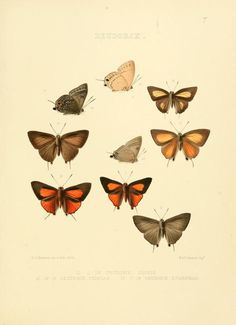 1862 - Illustrations of diurnal Lepidoptera, Lycænidæ by Hewitson, William C. (William Chapman)