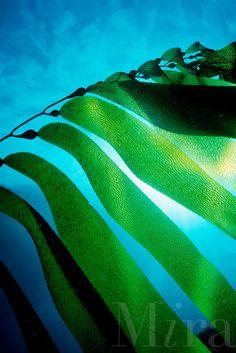 Giant kelp, Macrocystis pyrifera, California, Pacific Ocean
