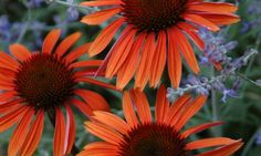 Coneflower 'Sundown', Echinacea 'Sundown', Coneflower Big Sky Sundown, Echinacea Big Sky Sundown, Orange Coneflower, Coneflowers, Cone flowers, Fragrant perennials, drought tolerant perennials