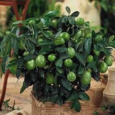 Dwarf Lime Tree - These indoor citrus trees only reach about two - three feet in height and produce full-size, bright fruit