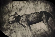 Though it looked like a wolf and was called a Tasmanian tiger, the thylacine was actually a marsupial — a relative of kangaroos and koalas. By the 1930s it had been hunted to extinction. Taxidermic specimen, American Museum of Natural History, New York  Credit Robb Kendrick / National Geographic