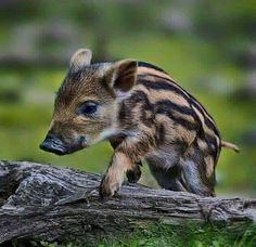 Cute Animals On Ark lot Cute Anime Animals List within Young Animal Hide Crossword Clue lot Cute Animals To Draw Panda opposite Cute Coloring Pages Of Animals Cute Baby Animals, Farm Animals, Animals And Pets, Anime Animals, Pet Pigs, Baby Pigs, Foto 3d, Cute Piglets, Interesting Animals