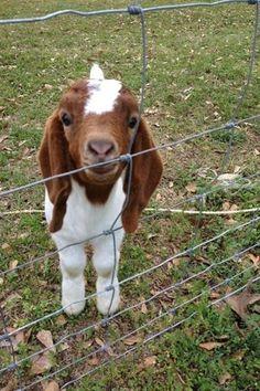 <-- Tiny goat.