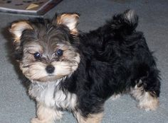 Petie, the Yorktese (Yorkie / Maltese Hybrid) at one year old. Bred by Sunrise Kennel.