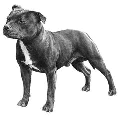 Staffordshire Bull Terrier breed standard illustration: The Staffordshire Bull Terrier is a smooth-coated dog. It should be of great strength for its size and, although muscular, should be active and agile.