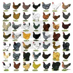 Chicken Breeds Chart | chicken breeds chart. 49 Hen Breeds Boxer Brief