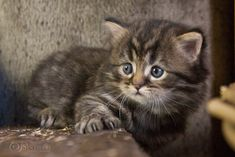 Loki from Sinthari (German Longhair, 30 days old) Beautiful Kittens, Cute Cats And Kittens, Loki, Small Cat Breeds, School Is Over, Nature Animals, More Cute, Cat Life, Cute Animals