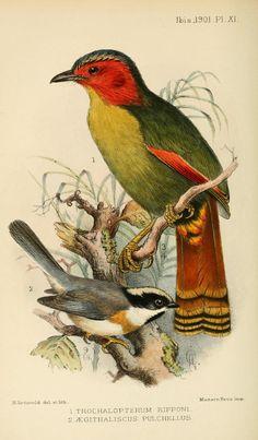 ser. 8, v. 1 (1901) - Ibis. - Biodiversity Heritage Library