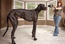 El perro más grande del mundo (Guinnes) WOW