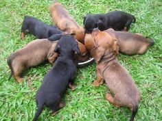 Dachshund Puppies forming a doxie-go-'round at their bowl of food! Dachshund Puppies, Cute Puppies, Cute Dogs, Standard Dachshund, Mini Dachshund, Baby Animals, Cute Animals, Dashund, Sausage Dogs