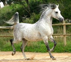 Pure Spanish Arabian stallion, Sarajevo. photo: Bosc del Siscar.