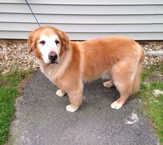Mocha has been groomed with us for years but is still handsome with an easier to maintain puppy clip. #SummerClip #GoldenRetriever #OldIeButGoodie #TLCPetHaven