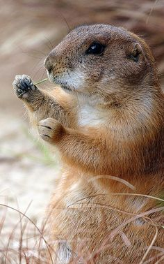 Prairie dog why do they call me a dog? I don't know...let me chew on that a while