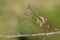 "Mantis palo: ""Empusa Pennata"" de Santiago M. C."