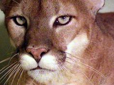Animals For > Mountain Lion Attack Horse