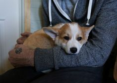 Corgnelius Got A New Brother Named Stumphrey And He's Adorable Baby Dogs, Dogs And Puppies, Corgi Puppies, Sphinx Cat, Puppy House, Cute Dog Pictures, Pembroke Welsh Corgi, Doberman Pinscher, Animals Beautiful