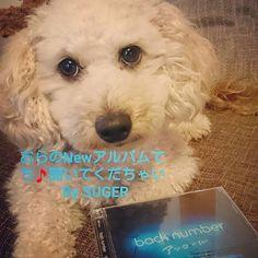 シュガーalbum出しました~~~(≧∇≦) 🎵 (笑) #犬 #愛犬 #トイプードル #ミニチュアダックスフント #ミックス犬 #わんこなしでは生きていけません会 #へなちょこカメラ部 #backnumber #dog #dogstagram #dog🐶 #instadogs #lovedogs #dogs_of_world #ilovemydogs #mydog #mydogscutest #pet #pets #instapet #igdog #doxpoo