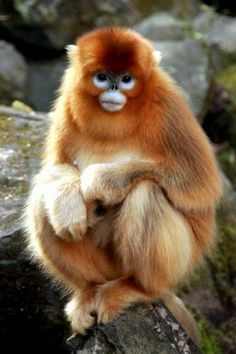 Golden snub-nosed monkeys have thick fur and they live in China. A Golden snub-nosed monkey is born in freezing temperatures at the top of . Primates, Mammals, All Gods Creatures, Cute Creatures, Beautiful Creatures, Animals Beautiful, Animals And Pets, Baby Animals, Cute Animals
